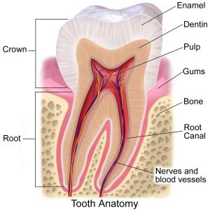 dentine pulp